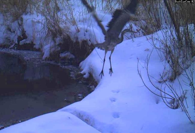 great blue heron 1-23-14