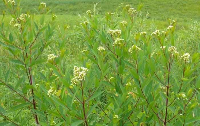 7-14-09 Apocynum sibiricum