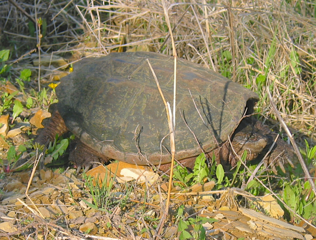 Snapping Turtle 5-12-03 1