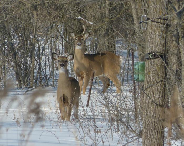 deer 2-1-14