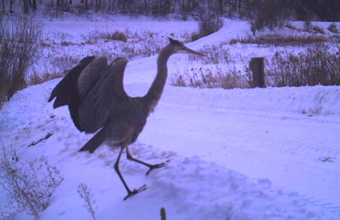 great blue heron 1-21-14 2