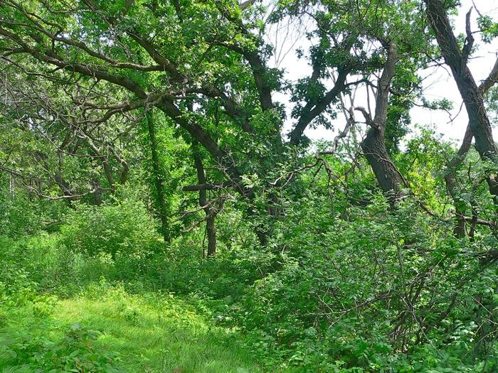 6-11-07 old oaks