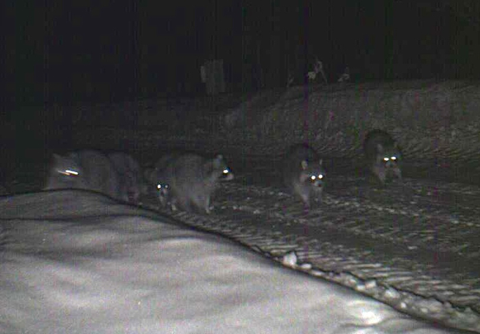 raccoons on the driveway