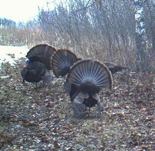 turkeys 4-2-14 3