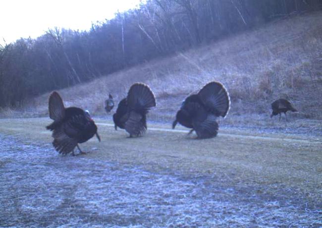 turkeys 4-9-14 1