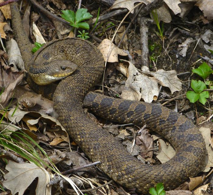 Eastern Hognose Snake 5-3-14