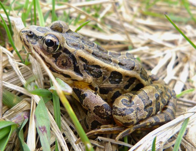 Pickerel Frog 5-6-14 1