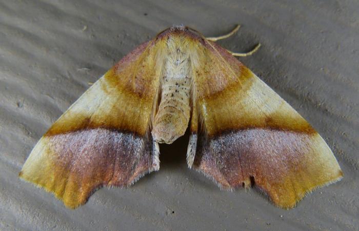 Plagodis phlogosaria