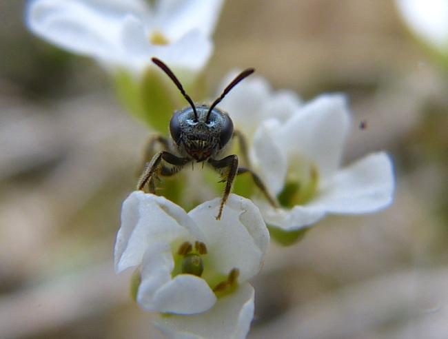 bee in Draba reptans 5-3-14 2