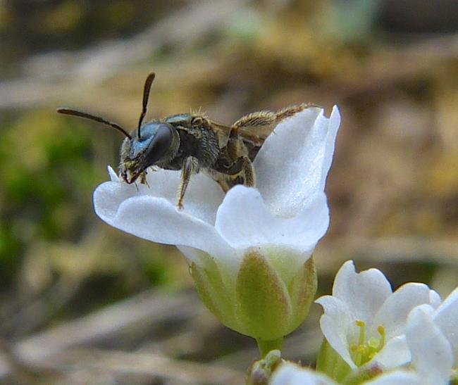 bee in Draba reptans 5-3-14 3