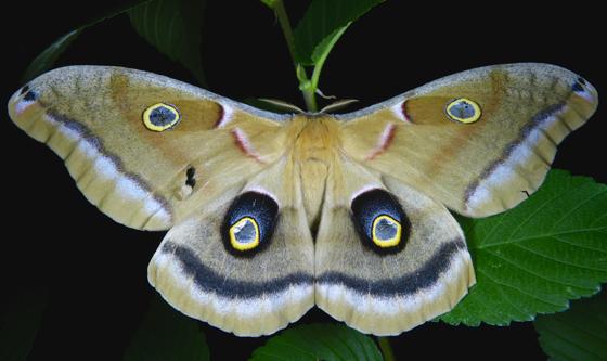 Antheraea polyphemus 6-11-14 3