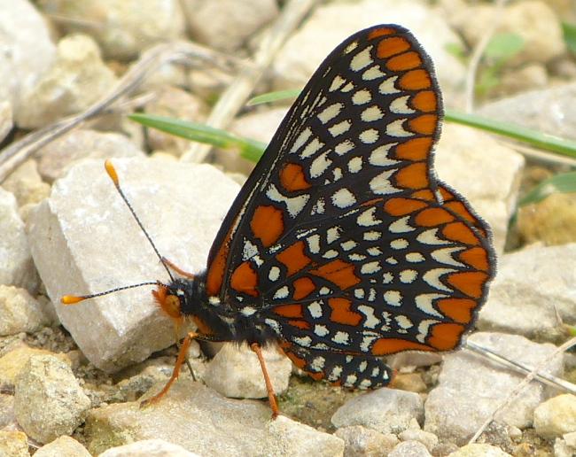Baltimore Checkerspot 6-22-14 1