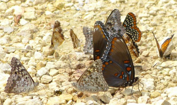 Butterflies on driveway 6-22-14 1