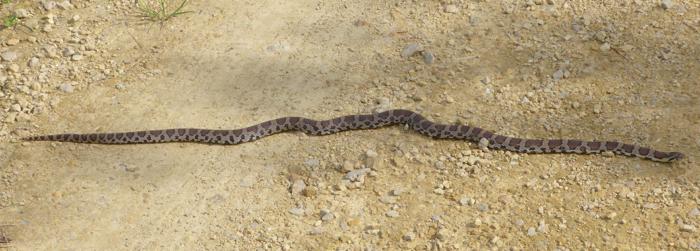 Eastern Milk Snake 6-22-14 2