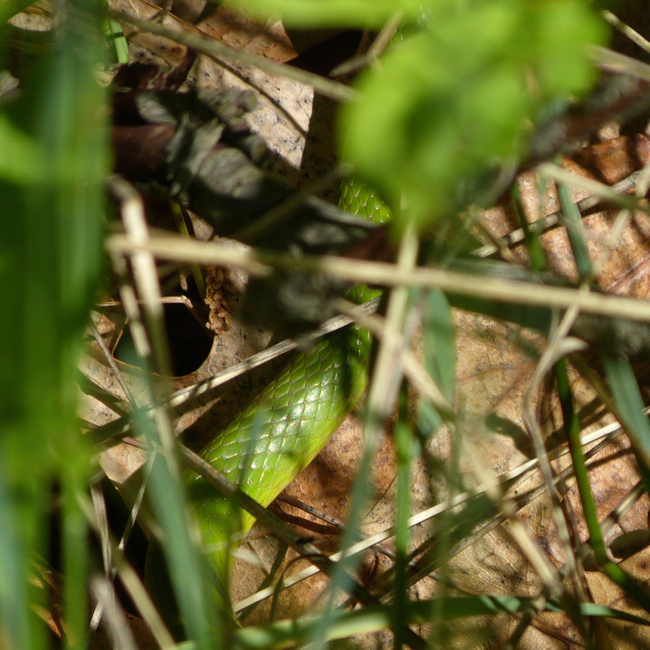 smooth green snake 6-4-14
