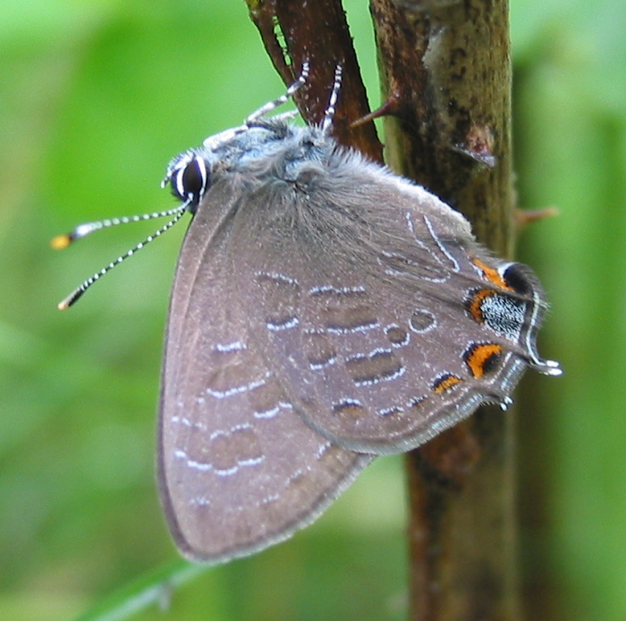 Striped Hairstreak 7-7-04 1