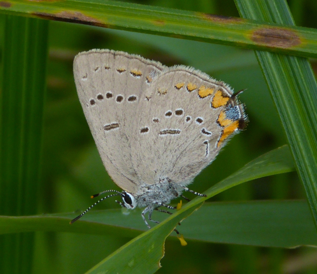 Acadian Hairstreak 7-26-14 1