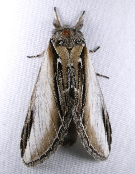 Pheosia rimosa 8-16-14 1