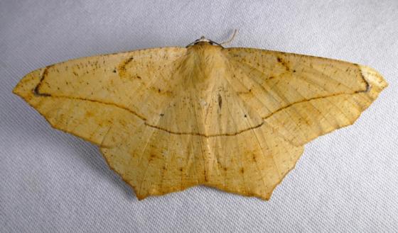 Prochoerodes lineola 8-13-14 1